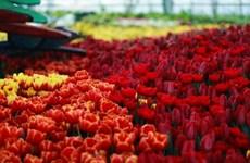 来到芽庄市Vinpearl Land游乐场亲眼目睹郁金香花的美丽(组图)