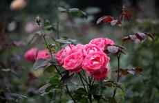 河内市巴维县玫瑰花园对外限时免费参观(组图)