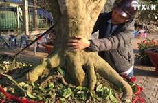 芹苴市出现报价30亿越盾的梅花盆景