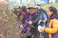 春节前期摆放桃花——河内人多年来的乐趣