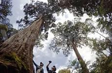 广南省努力保护形状奇特的滇柏古树