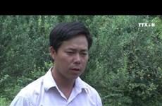 安沛省穆江界县集中推进山楂树种植模式