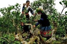 安沛省溪江山雪茶树得到推崇