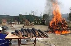 世界大象日:销毁象牙应成为越南的惯例