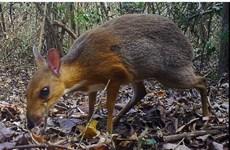 消失30年的银背鼷鹿在越南被重新发现