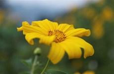 巴维山上肿柄菊盛开迎游客