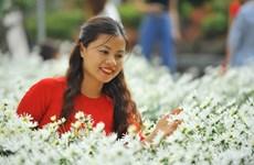 洁白雏菊为河内各花村增添一道靓丽的风景线