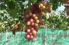 三色葡萄帮助宁顺省果农提高收入