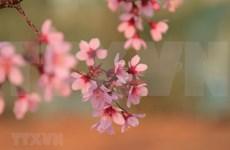 组图:冬樱花花开满枝 大叻街道成风景