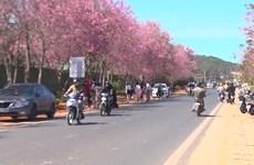 大叻市冬樱花盛开 满街姹紫嫣红