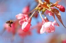 组图:野樱花竞相绽放 为木江界山林渲染春天色彩