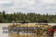 槟椥省椰子成越南农产品的亮点产业