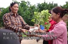 安世县居民力争以柚子种植模式致富