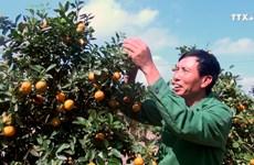 清化省金桔盆景迎来春节销售旺季