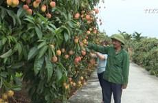 海阳省努力将荔枝品牌推向世界