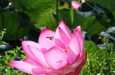 组图:广治省荷花在阳光明媚中盛开