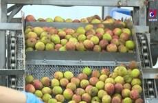 北江省采用新加工贮藏技术  力争提高输日荔枝质量
