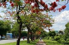 组图:夏天到来  凤凰木开花