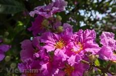 组图:夏季花开  首都河内河内绚丽多彩