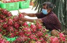 中国继续进口越南火龙果