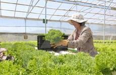 林同省大叻市将成为东南亚第一蔬菜生产中心
