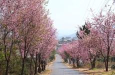 第一次大叻樱花节将延长到二月中旬举行