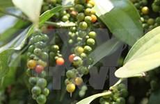 越南胡椒出口数量和出口额同比下降