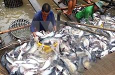 越南查鱼养殖面积及其产量猛增
