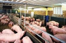 同奈省对柬埔寨活猪出口量猛增