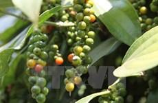 2016-2017年收获季节富国县胡椒产量达近1250吨