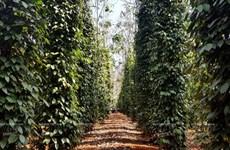 西原——越南农业商品生产大基地