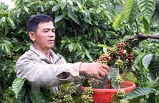 越南农业部即将颁发胡椒产地编码   致力实现胡椒安全、可持续发展