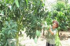 Agricare 每周向澳大利亚出口5吨青皮芒