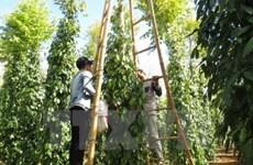 今年前8月印尼胡椒出口量达近2.5万吨
