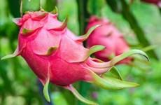 越南首批新鲜火龙果在西澳大利亚州上市