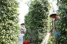 同奈省对德国和荷兰出口800余吨胡椒
