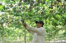 越南首批百香果出口至欧盟市场