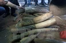 河内内排国际机场海关查获3公斤非洲象牙