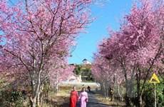 2018年大叻泉林樱花节将于1月底举行