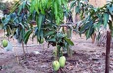 四季芒果协助沿海地区农民脱贫致富