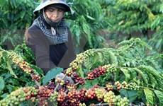 越南咖啡需及时破解加工保鲜技术难题