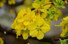 2018年安子黄梅花—樱桃花节将免费开放