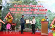 越南安江省三棵大花紫薇树被列入越南遗产树名录