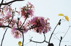 胡志明市洋红风铃木盛开  粉红色花海惹人迷醉