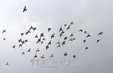 北宁省举行2000只和平鸽放飞活动