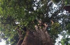河静省武光国家公园发现一棵树龄约为800-1000年的福建柏
