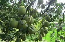 地理标志认证为越南绿皮柚子拓宽出口之路