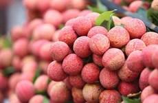 海阳省将荔枝打造成为当地旅游产品