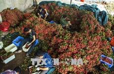 越南荔枝运往俄罗斯以服务于2018年世界杯