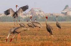 越南鸟栖国家公园仅剩11只赤颈鹤